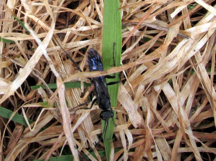 Spider wasp Pompilidae episyron
