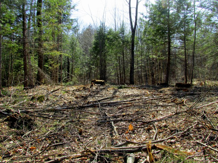 stand with oak trees cut, 6 May 2015