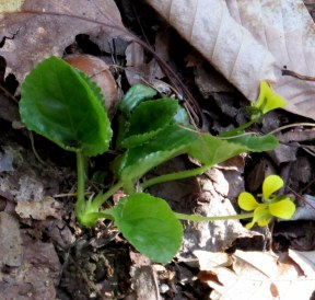 Viola rotundifolia (round-leaf violet), 6 May 2015
