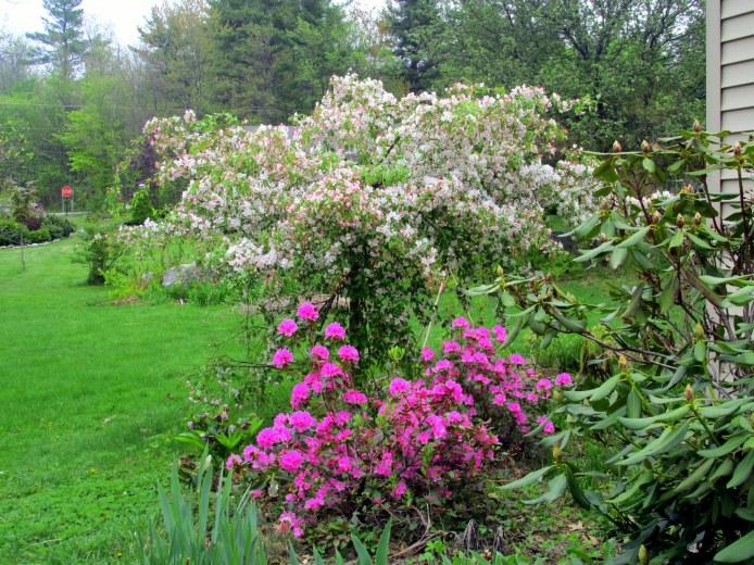 weepingJadecrabappleandOlgaMezittrhododendroninbloomc18May2015