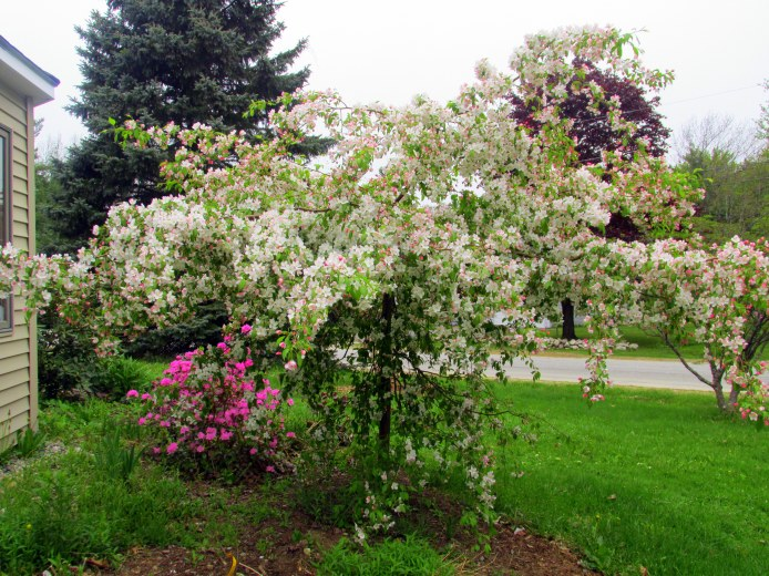 weepingJadecrabappleandOlgaMezittrhododendroninbloomside18May2015