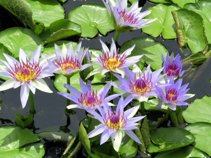 African waterlilies