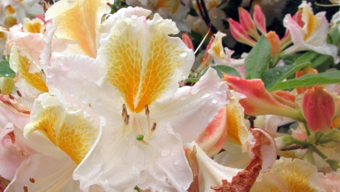 cream azalea