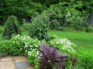 backyard with bench, 'Husker Red' penstemon, Anemone sylestris