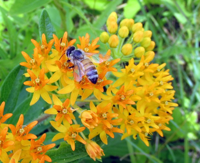 bee on orange asclepias (butterfly weed)