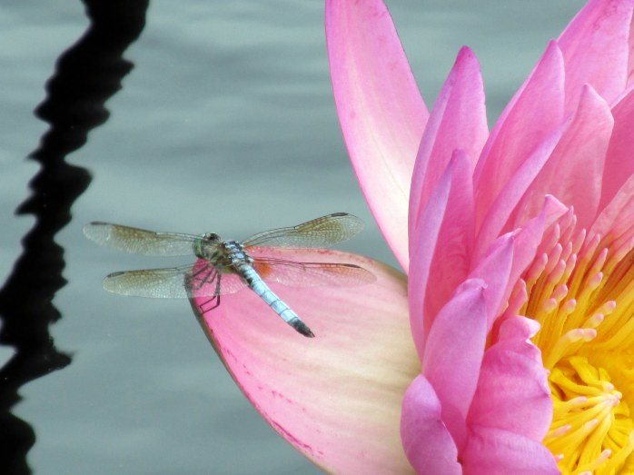 Blue Dasher dragonfly on 'Coral Sky' tropical waterlily