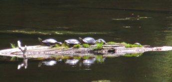 painted turtles on log, 6 June 2015