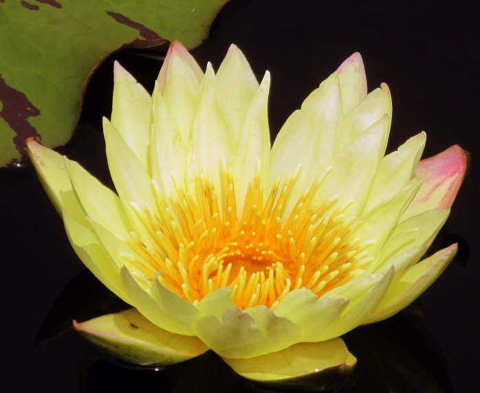 Carla's Sonshine tropical waterlily