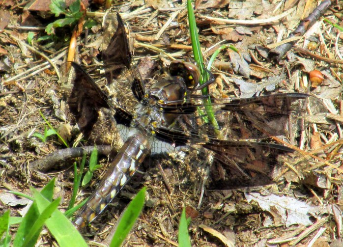 common whitetail dragonfly, immature male, 6 June 2015