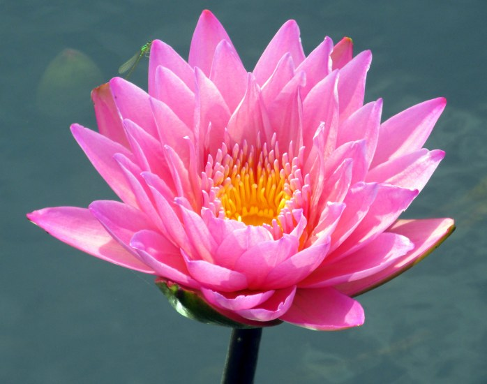 'Coral Sky' tropical waterlily