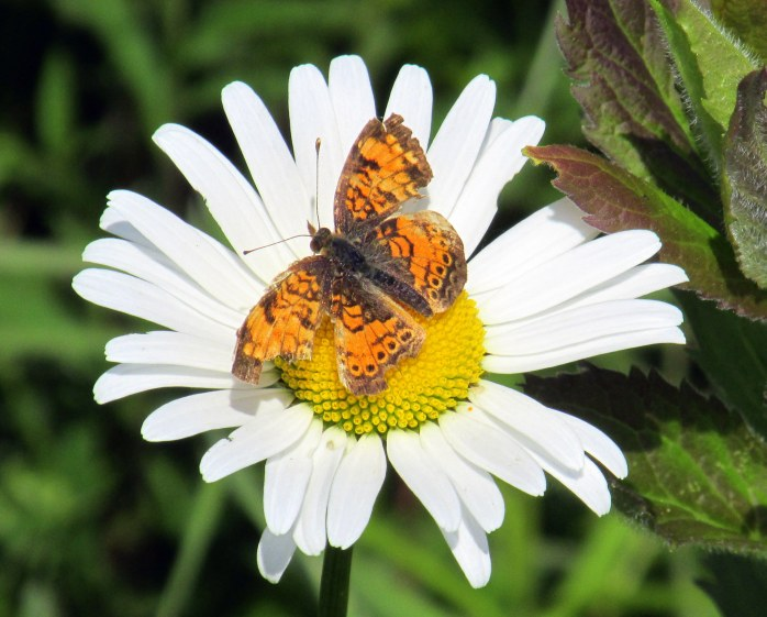 damaged Pearl or Northern Crescent butterfly on daisy