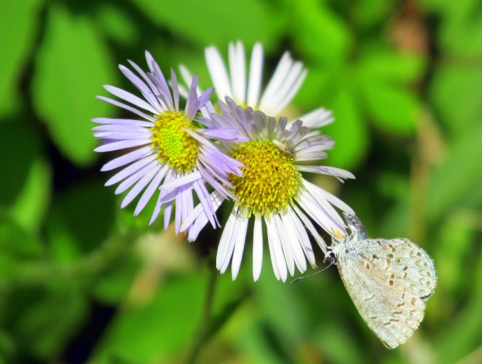 Erigeron (probably pulchellis - Robin's Plantain, fleabane) and blue butterfly, 6 June 2015