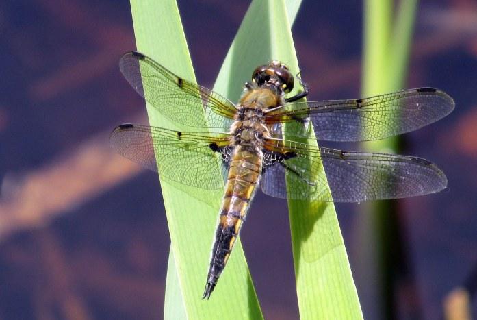 4-spotted skimmer dragonfly, 6 June 2015