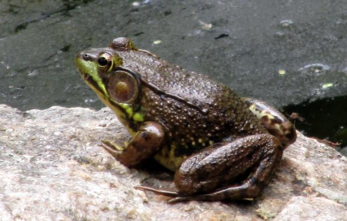frog in Giles Rhodo Grden