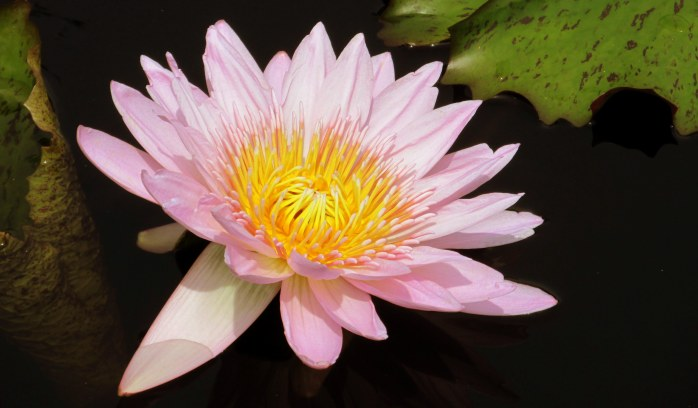 'General Pershing' tropical waterlily