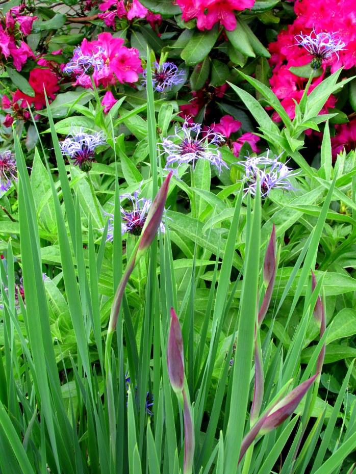 iris buds, centaurea, rhododendron