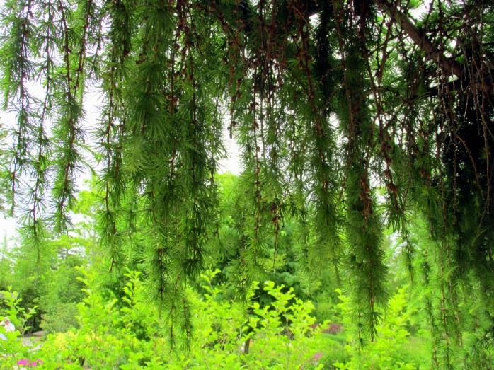 larch overhanging Lerner 5 Senses Garden