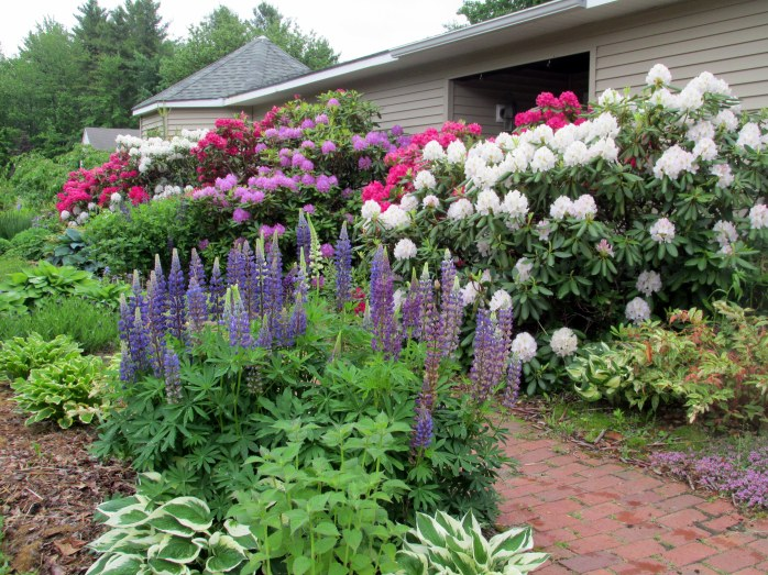 front walkway with lupine, rhododendrons, hostas, bee balm