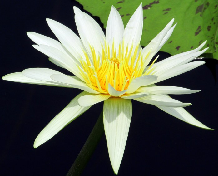 'Mrs. George H Pring' tropical waterlily
