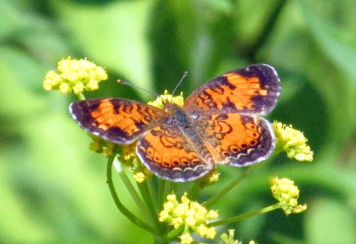 (Phyciodes cocyta) Northern crescent butterfly, 6 June 2015