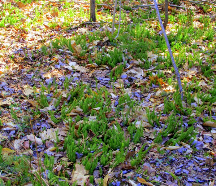 patch of club moss (May)