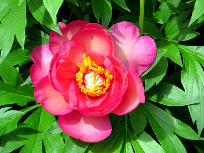 Peony 'Magical Mystery Tour'