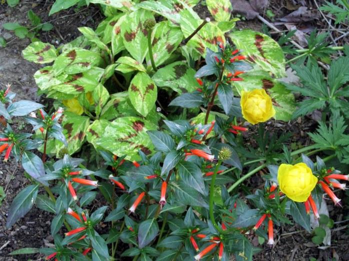 persicaria 'Painters Palette', trollius, and annual Cuphea 'Vermillionaire'