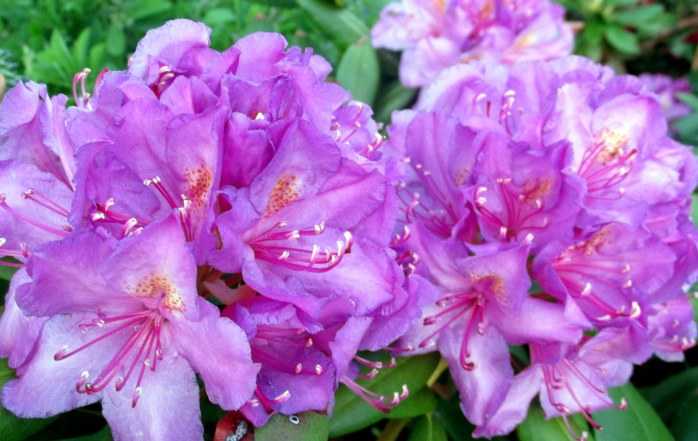purple rhododendron blooms