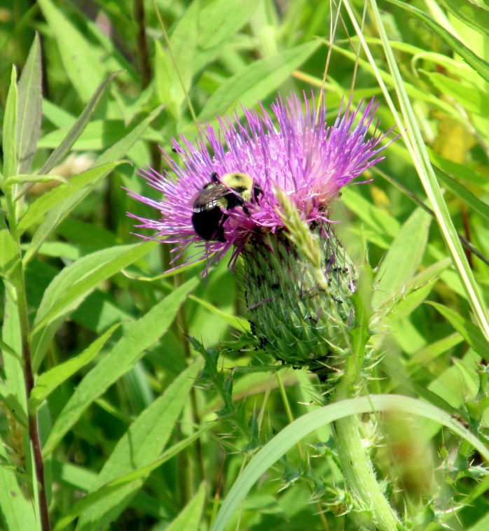 bumblebee on purple thistle
