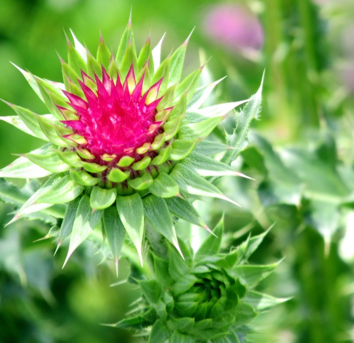 thistle in bud