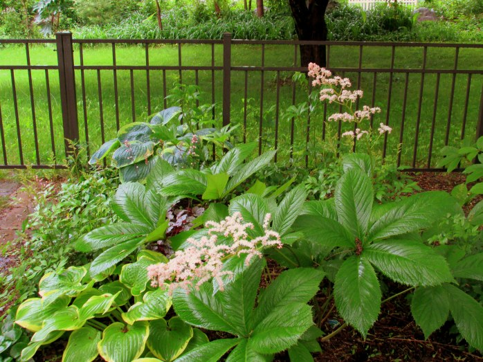 Rodgersia in bloom