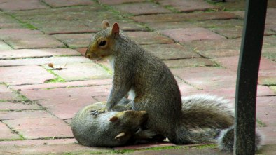 squirrelsexAcafeLongwoodGardens23June2015