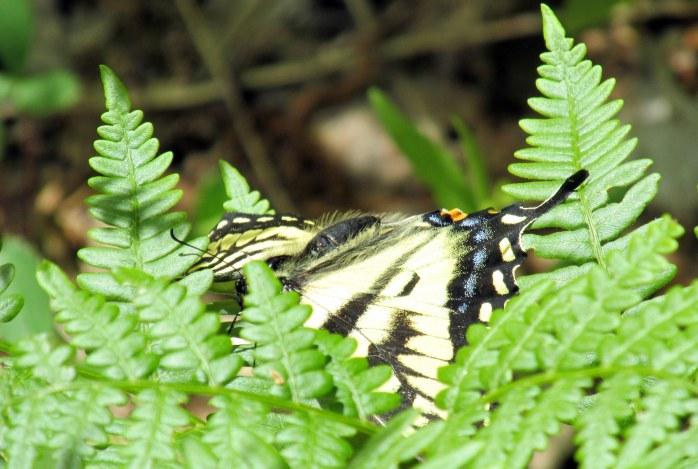 swallowtail butterfly on ferns, 6 June 2015