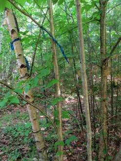 the three kinds of birches, 6 June 2015