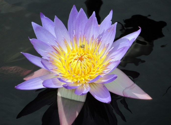 'Tina' tropical waterlily