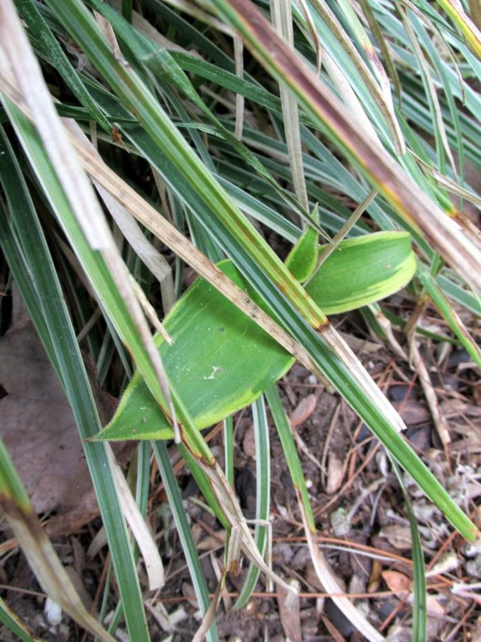 Tricyrtis formosana 'Samurai' spreading