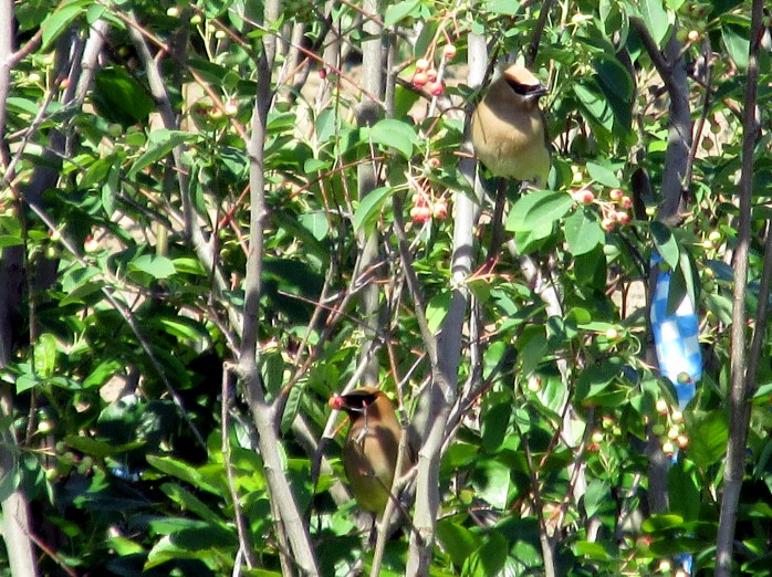 two cedar waxwings in trees to be planted