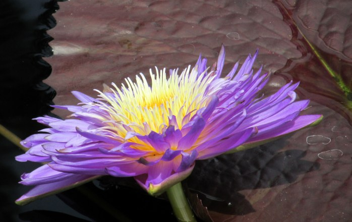 'Ultra Violet' tropical waterlily