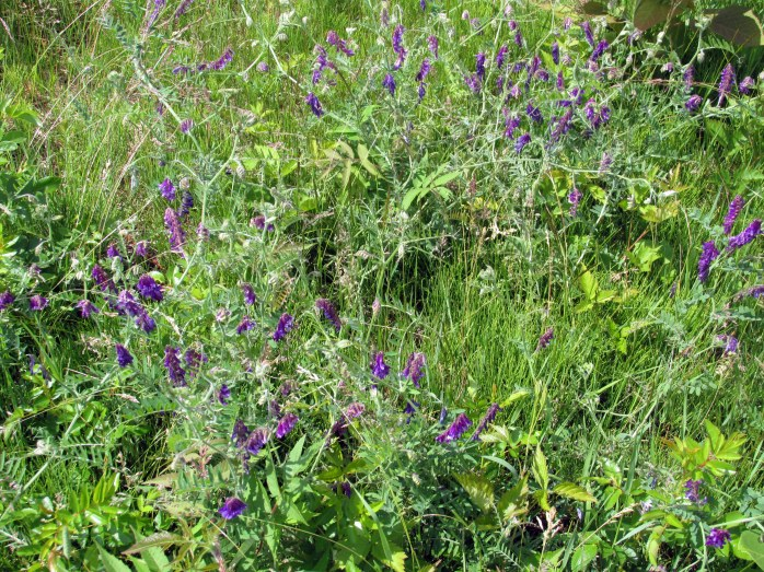 vetch in bloom