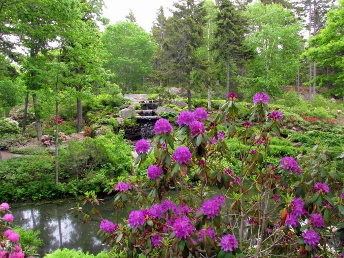 viewthrupurplerhododendronstowaterfallCMBG12June2015