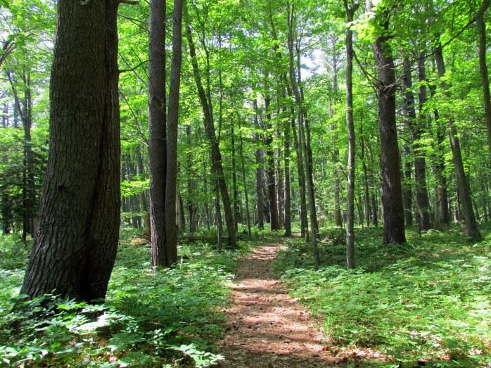 woodsypathtreesLaudholmWells20June2015