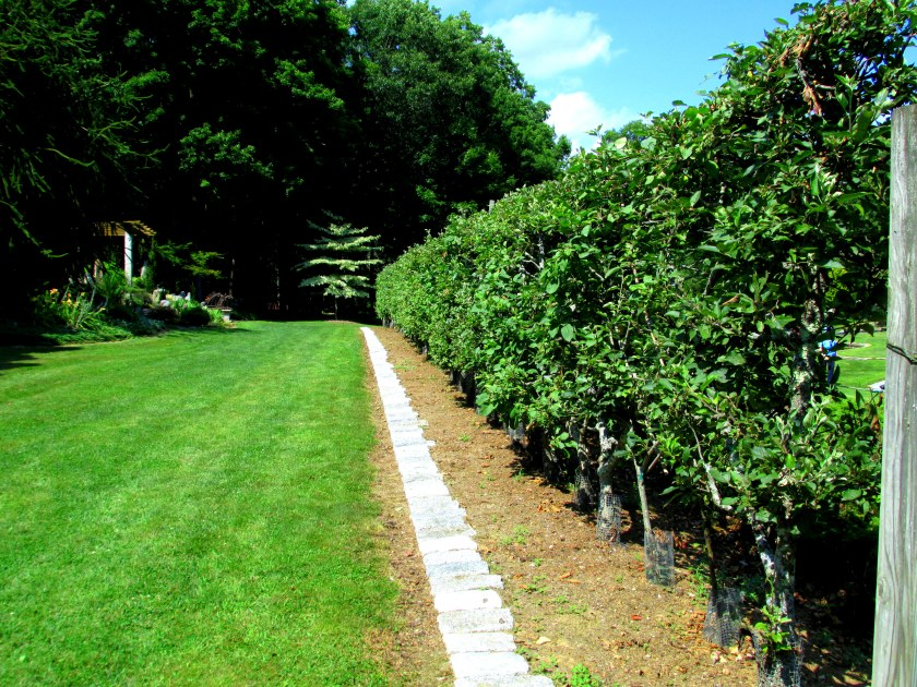 Belgian Fence - apple espalier