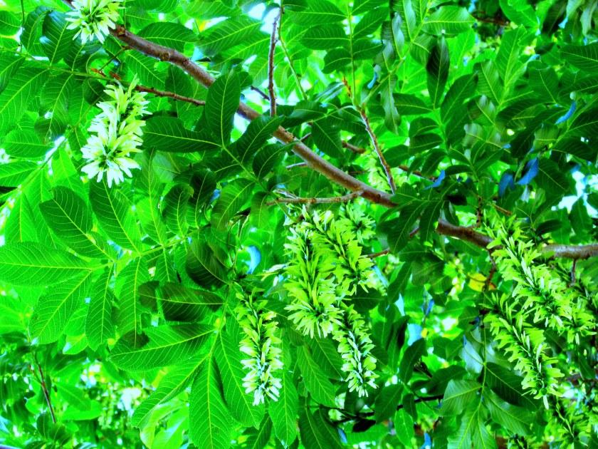 Chinese wingnut tree (Pterocarya stenoptera)