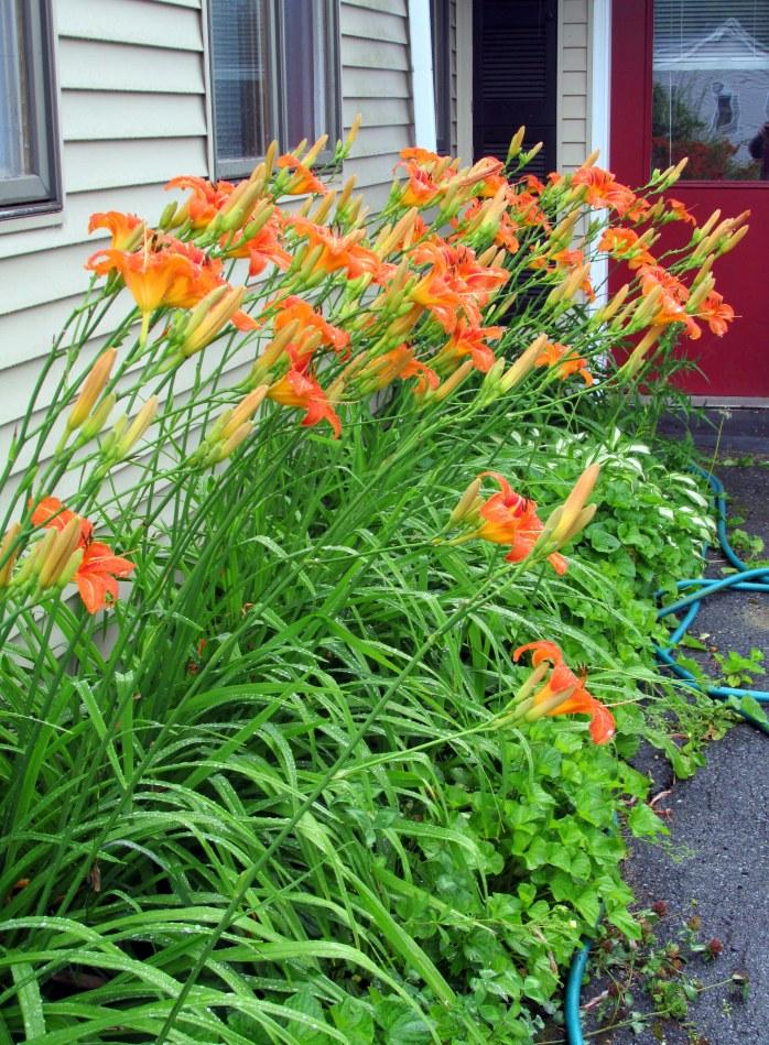 dayliles