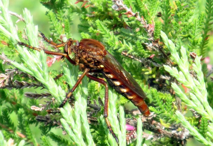 (Robber fly Diogmites sasalis) on juniper