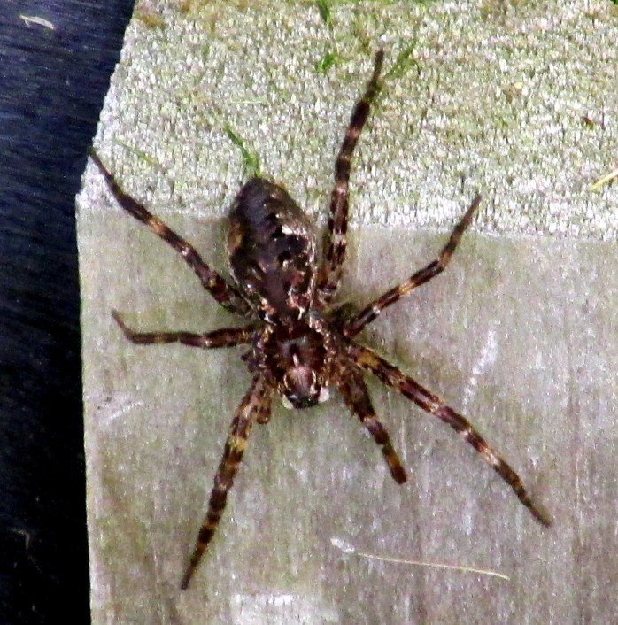 Dolomedes tenebrosus (dark fishing spider) are nocturnal hunters of insects - and also tadpoles and fish