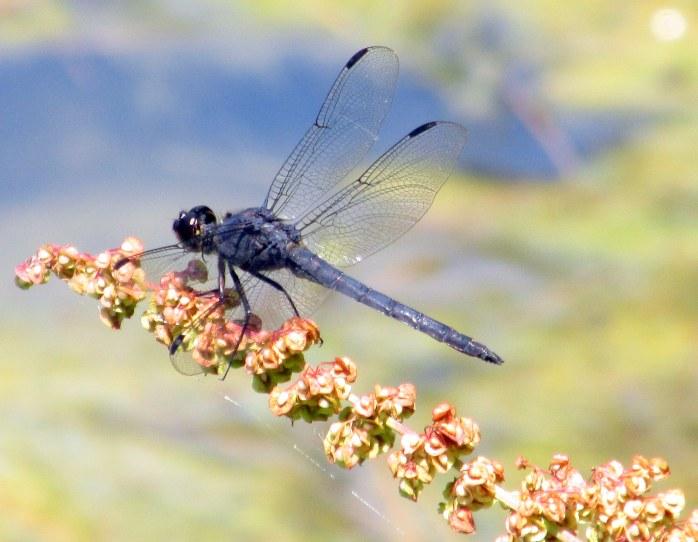 male Slaty Skimmer dragonfly over large pond