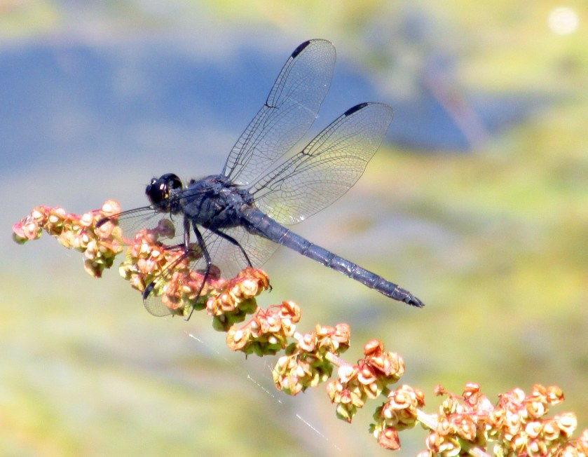 male Slaty Skimmer dragonfly over large pond