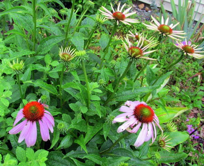 echinacea blooms and buds