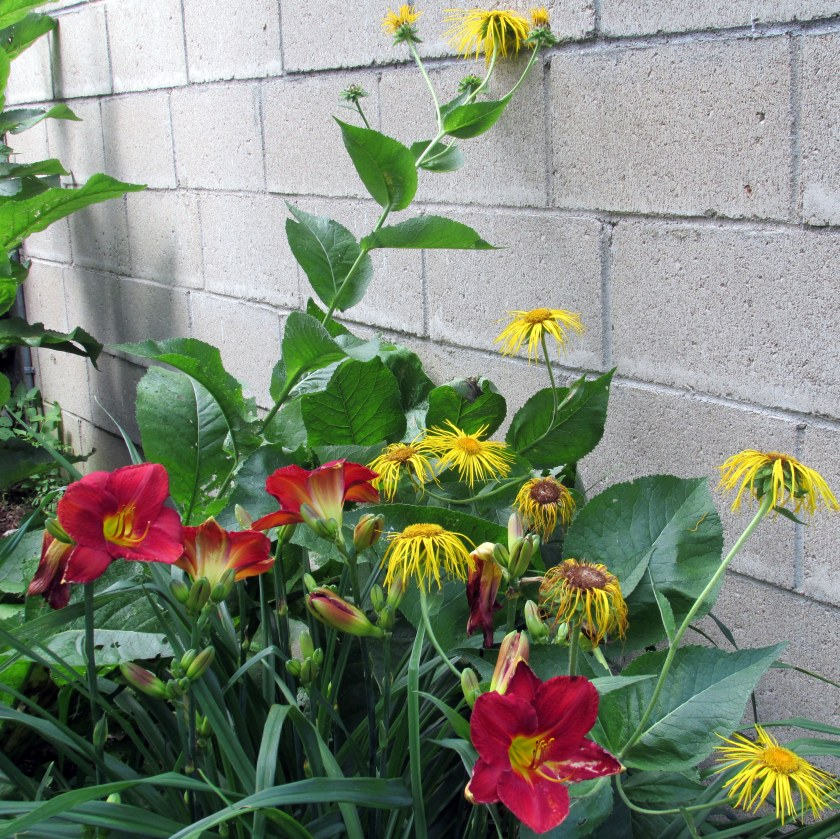 elecampane and daylilies near studio